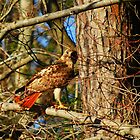 Red Tail Hawk 2 by madman4