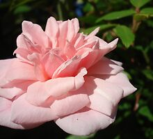 pink rose by kveta