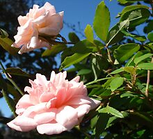 two pink roses by kveta