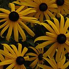 Black Eyed Susans by Tammy F