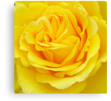 Beautiful Yellow Rose Closeup  Canvas Print