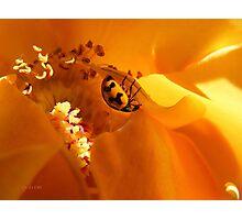Ladybird Rose Photographic Print