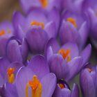 purple crocus by Christopher  Ewing