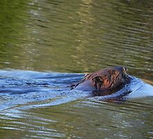 Canadian Beaver & Ripples by Martha Medford