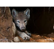 Timber Wolf Pup in Den Photographic Print