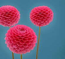 3 Pink Dahlias by PeteG