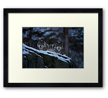 Timber Wolves In Late Evening. Framed Print