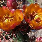 Cactus Flowers by katyas1983