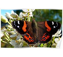 Natures Markings - Red Admiral Butterfly - NZ Poster