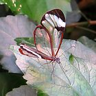 The Glasswinged butterfly by ienemien