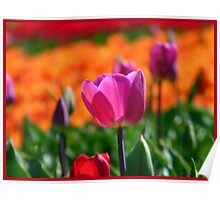 A Little Pink to add more Colour! - Tulip Plantation - NZ Poster