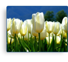 Standing Taller Than The Rest! - White Tulip Plantation - NZ Canvas Print
