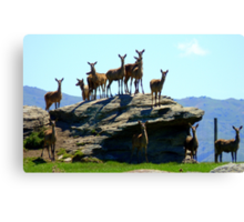 The Vantage Point! - Deer - NZ Canvas Print