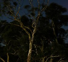Moonlit Gums by Colin12