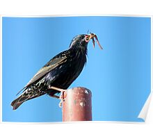 The Early Bird Catches The Worm - Starling Poster