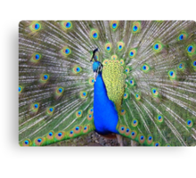 Am I Impressing YOU Yet! - Peacock - NZ Canvas Print