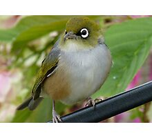 Beauty Is In The Eye Of The Beholder! - Silvereye - NZ Photographic Print