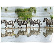 Zebras Stepping Out Poster