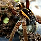 Do You Think My Eye Brows Need A Trim - Raft Spider - NZ by AndreaEL