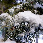 Evergreen Dusting by K Gilks
