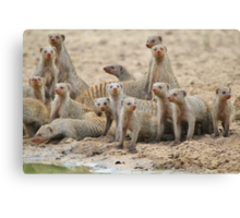 Banded Mongoose - Band of Brothers and Sisters Canvas Print