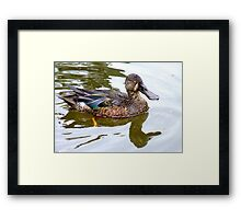 Bill Shoveler - Shoveler Duck - NZ Framed Print