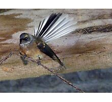 Have You Seen My Fan? - Fantail - NZ Photographic Print