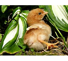 The Leaf Sun Lounger - Chick - NZ Photographic Print