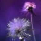 Dandelion Dreams II by Lesley Smitheringale