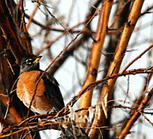 American Robin by Ryan Houston