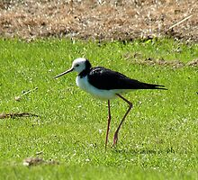 Daddy Longlegs - Pied Stilt NZ by AndreaEL
