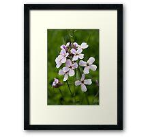 HDR Composite - Pink Flox or Phlox Framed Print