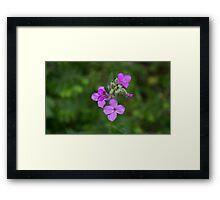 HDR Composite - Purple Flox or Phlox 3 Framed Print
