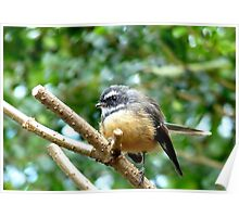 A Quick Pose - Fantail - Southland Poster