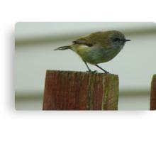 Be Quick, I'm Off! - Grey Warbler - NZ Canvas Print