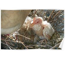 Pterodactyl - Beautiful-Ugly - Baby Collard Dove - NZ Poster