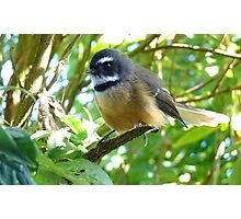 Dressed For Success - Fantail - NZ Photographic Print