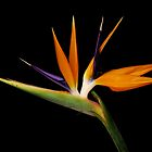 Strelitzia by Macky