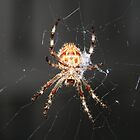 spider in my garden by sassey