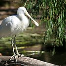 Yellow-billed Spoonbill by Martin Pot