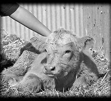 Content Calf by Ian Moreland