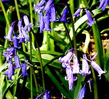 April Bluebells by Lee Kerr