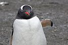 "Gentoo Penguin ~ ""Raindrops keep falling on my head....""  by Robert Elliott"