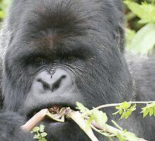 Gorilla Snack by Steve Bulford