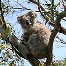 Koala in the Wild by Marilyn Harris
