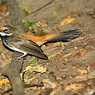 Rufous Fantail by Robert Elliott