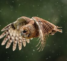Young Tawny Owl in Flight by Dave  Knowles