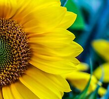 Sunflower Days by Nicole Petegorsky