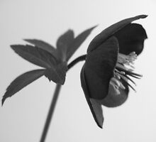 Black Beauty by Bramble