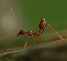 Red Ant stretching by insecthunter
